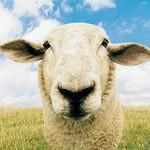 овца 2